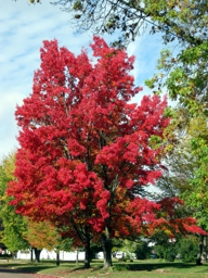 Blazing Red Maple during the Peak Season in Augusta Wisconsin